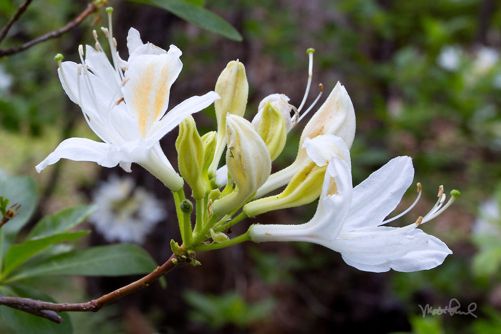 Western Azalea in Yosemite? I didn't think I'd find some beautiful wildflowers in the Yosemite Valley. I was out hiking from the campground and came across these white beauties. Western Azalea is a flowering shrub that produces some of Yosemite's most spectacular and aromatic wildflower displays.