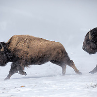Bison, Yellwstone National Park.