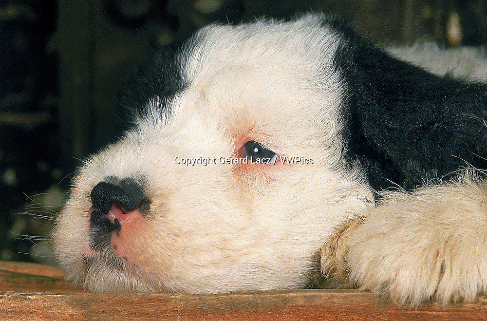 BOBTAIL DOG OR OLD ENGLISH SHEEPDOG, PUP RESTING