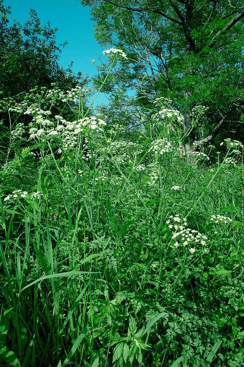 HEMLOCK WATER-DROPWORT Oenanthe crocata (Apiaceae) Height to 1.25m. Distinctive and highly poisonous perennial that sometimes forms sizeable clumps. The stems are hollow and grooved and the plant smells of Parsley. Found in damp meadows and ditches. FLOWERS are white and borne in domed umbels, 5-10cm across, with 10-40 rays and numerous bracts (Jun-Aug). FRUITS are cylindrical, with long styles. LEAVES are 2-4 times pinnately divided with toothed, tapering lobes. STATUS-Widespread but locally common only in S and W Britain; scarce in, or absent from, much of the N.