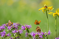 Fritillary butterfly flies over horsemint blossoms where others are feeding, black-eyed Susan blossoms close by, mountain meadow, Jemez Mountains NM. © 2010 David A. Ponton