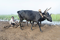 Oxen pulling a wooden sled and small boy, Limpopo floodplain, Maputo Province, Mozambique