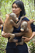 Bornean Orangutan<br /> Pongo pygmaeus<br /> Caretaker holding 1-2 year old infants<br /> Orangutan Care Center, Borneo, Indonesia<br /> *No model release available - for editorial use only