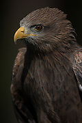 Yellow-billed kite in at the Center for Birds of Prey November 15, 2015 in Awendaw, SC.