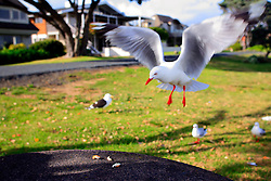 NEW ZEALAND WAHANGAPARAOA 13DEC07 - Seagull approaches picnic table on Wahangaparaoa peninsula...jre/Photo by Jiri Rezac..© Jiri Rezac 2007..Contact: +44 (0) 7050 110 417.Mobile:  +44 (0) 7801 337 683.Office:  +44 (0) 20 8968 9635..Email:   jiri@jirirezac.com.Web:    www.jirirezac.com..© All images Jiri Rezac 2007 - All rights reserved.
