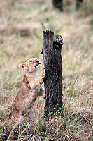 Lion cub playing in the Masai Mara reserve in Kenya Africa