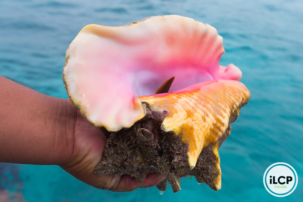 A live conch in Punta Herrero, a small, remote fishing camp in the Sian Ka'an Biosphere Reserve in southernmost Caribbean Mexico. From a 2014 iLCP (International League of Conservation Photographers) expedition project documenting the people and places of the Mexican section of the Mesoamerican Reef (MAR).