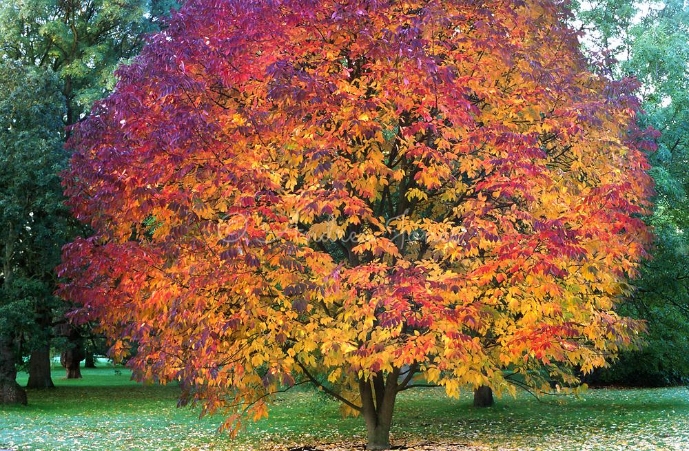 Acer maximowiczianum (Acer nikoense, Nikko maple)