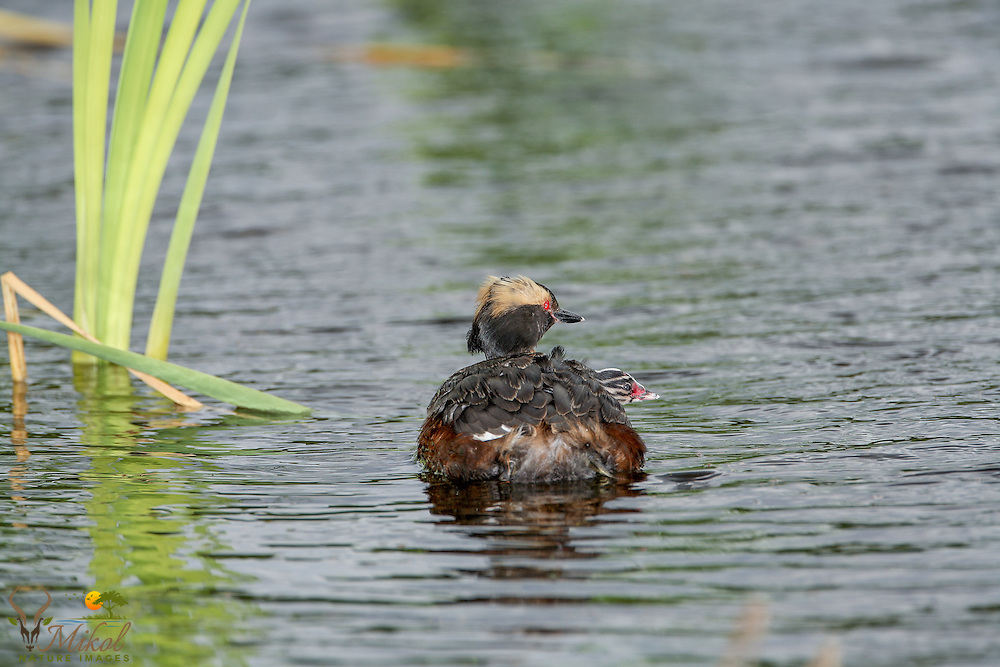 Horned Grebe with chick on back rear view