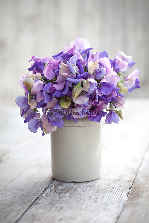 Lathyrus odoratus 'Erewhon' - sweet pea arrangement in small earthenware jar