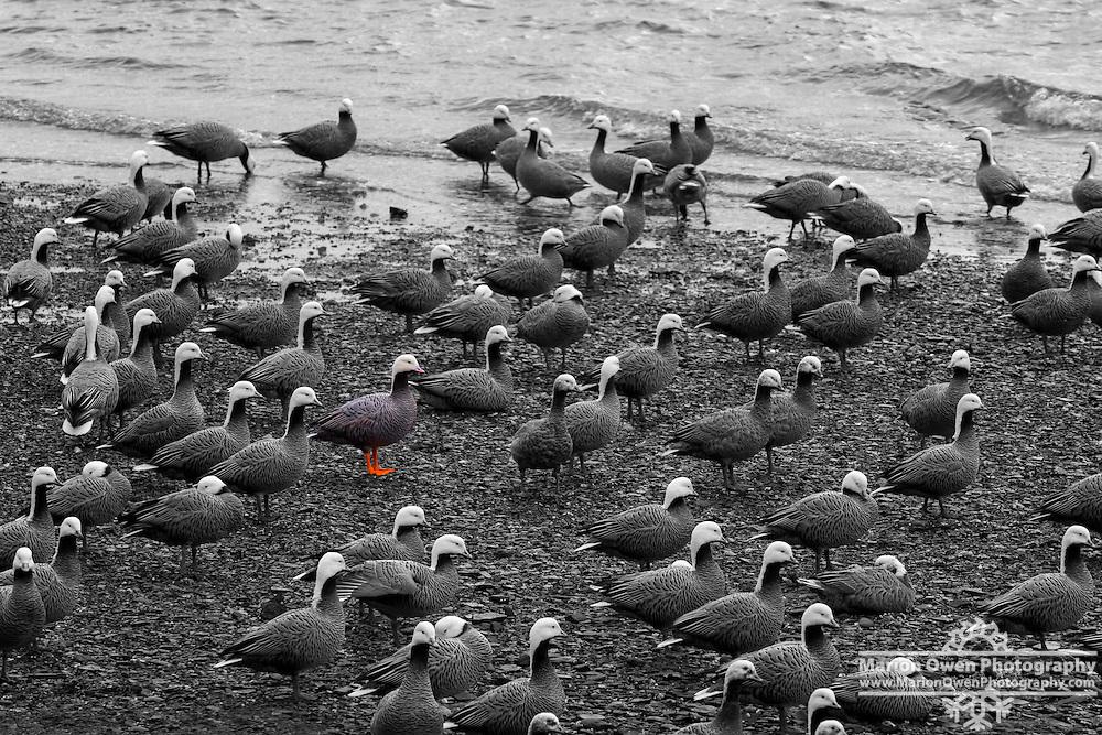 Emperor Geese cluster on beach in Kodiak, Alaska