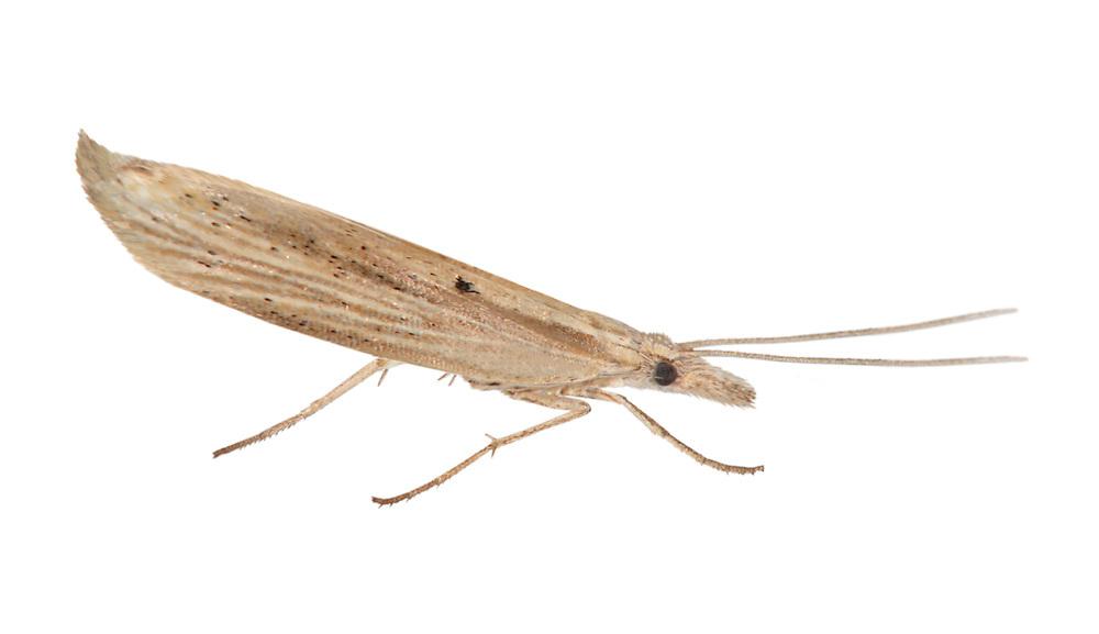 17.002 (0452)<br /> Ypsolopha nemorella