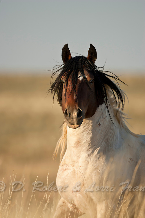 Wild horse or mustang. A paint band stallion in Wyoming