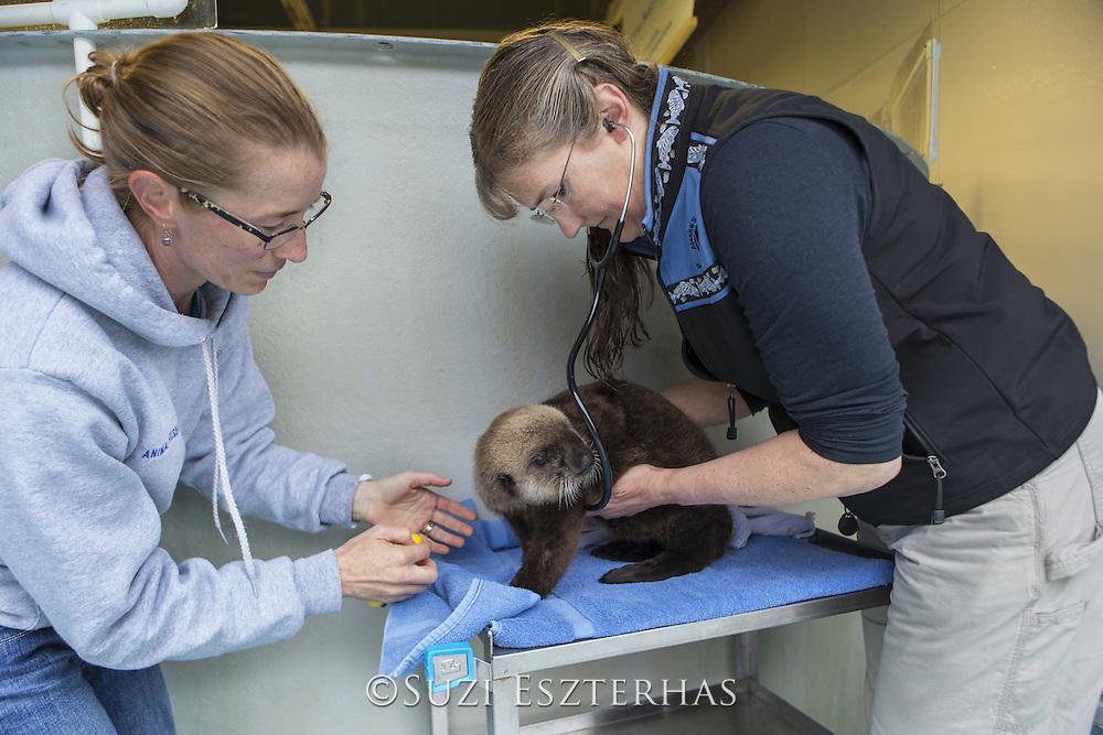 Northern sea otter<br /> Enhydra lutris <br /> Carrie Goertz, Veterinarian, and Deanna Troeauga, Aquarist, examining three-month-old orphaned pup <br /> Alaska Sea Life Center, Seward, Alaska<br /> *Model release available