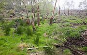 Marshy land newly deforested in Tunstall Forest, near Sudbourne, Suffolk, England, UK
