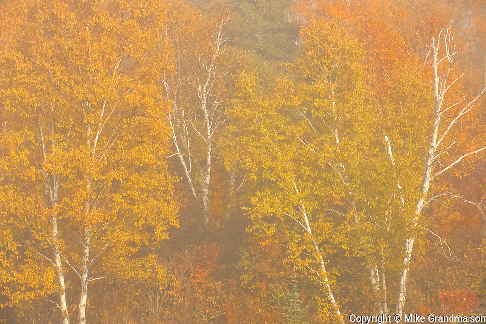 Autumn colors on birch trees in fog at sunrise at Lyons Lake.<br />Whiteshell Provincial Park<br />Manitoba<br />Canada