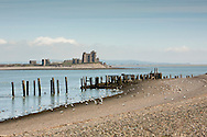 Eider Ducks on the beach at Walney Island with Peil Castle in the background, Barrow in Furness, Cumbria, Uk