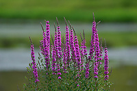 Purple Loosestrife, (Lythrum salicaria), Wu Ying District Nature Reserve, near Yichun city, Heilongjiang Province, China