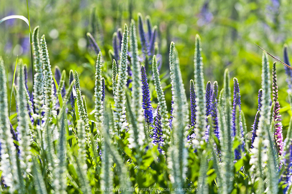 Icicle spiked speedwell (Veronica spicata 'Icicle')