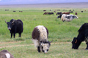 GOBI DESERT, MONGOLIA..09/01/2001.Lake Orog (salt lake). Mongolian cows and yaks..(Photo by Heimo Aga).
