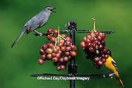 00585-01719 Gray Catbird (Dumetella carolinensis) & Baltimore Oriole (Icterus galbula) female eating grapes at feeder Marion Co. IL