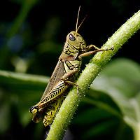 Grasshopper on a sunflower stem.