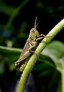 Grasshopper on a sunflower stem.