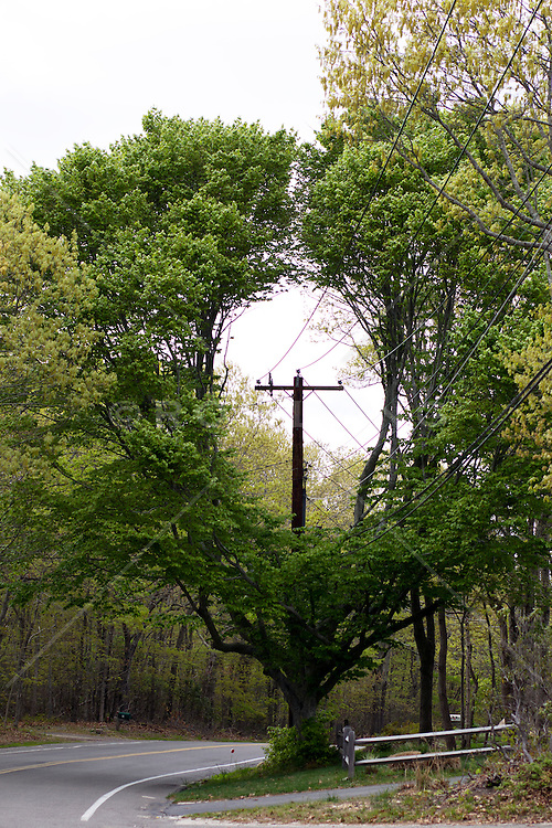 large tree pruned around an electric pole in The Hamptons