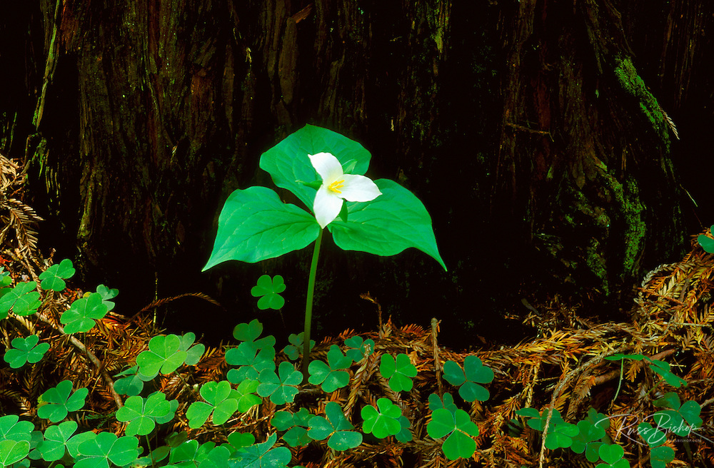 Trillium Lily and sorrel in the Stout Grove, Jedediah Smith Redwoods State Park, Redwood National Park, California.