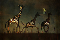 Three giraffes fleeing in the dead of night. A powerful, perhaps ominous moon hangs over their fearful heads. Where are they going? What are they afraid of? There is a sense of urgency this piece that reaches into our hearts from the first moment in which we lay eyes upon it. This is a piece that can prove to be a beautiful addition to not only homes, but to a place of business, as well. The landscape, giraffes, and moon serve to create something powerful. Available across numerous lovely prints, or as an interior décor product for the home.
