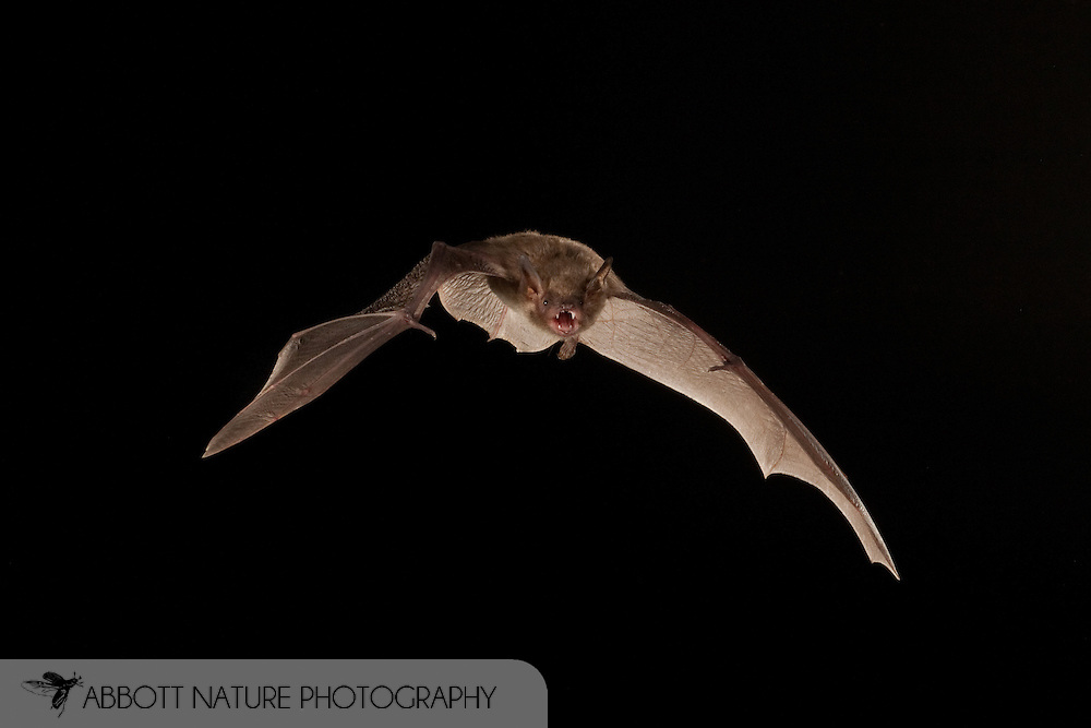 Cave Myotis (Myotis velifer) flying; shots taken with high speed flash<br /> TEXAS: San Saba Co.<br /> Pecan Orchard outside of San Saba<br /> 25.July.2009<br /> J.C. Abbott &amp; K.K. Bauer