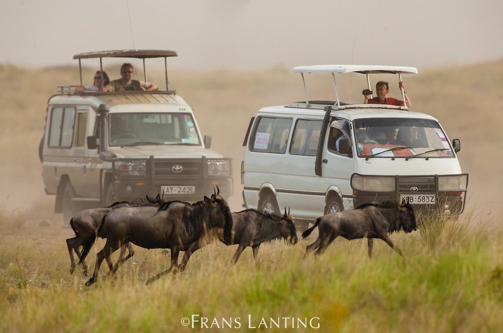 Tourists viewing wildebeests, Connochaetes taurinus, Masai Mara National Reserve, Kenya