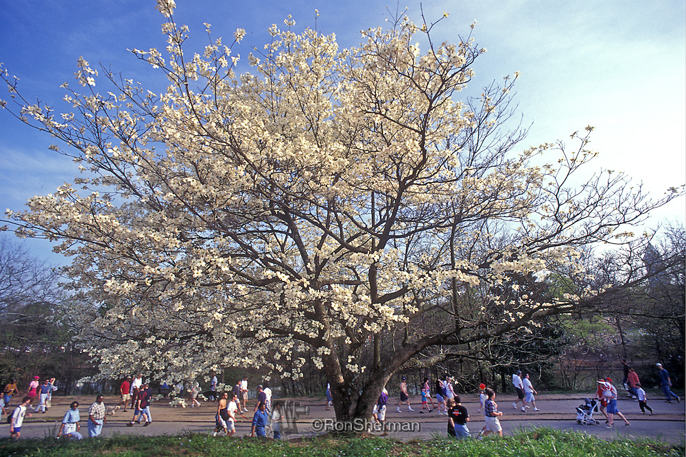 The Atlanta Dogwood Festival is an arts and crafts festival held each spring at Piedmont Park in Atlanta, Georgia. Originally held for nine days across two weekends and the weekdays between, it is now held only one weekend during early April, when the native dogwoods are in bloom.