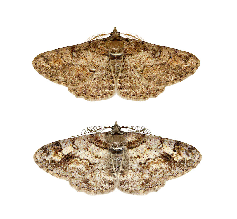 70.263 (1939)<br /> Ringed Carpet - Cleora cinctari