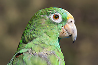 one Parrot Psittaciformes portrait  face Caldas in Colombia South America