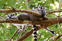 A pair of ring-tailed lemurs in a tree, Nahampoana Reserve, Fort Dauphin, Madagascar.