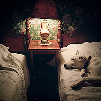 A rescue dog sleeps in a bed.