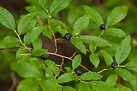 The black huckleberry is considered by many to be the prize of the mountain berries. These juicy, sweet member of the blueberry family are found from the Rocky Mountains to the Pacific Ocean (with a few isolated locations eastward) and have been enjoyed by wildlife and humans for millennia. This official state fruit of Idaho is a particularly important food source for grizzly and black bears, and traditionally the Native Americans have been eating them in dozens of different ways: fresh, dried, smoked, crushed up in soups or mixed with salmon roe - to name a few. These huckleberries were photographed (then eaten) just below the tree line at the edge of a subalpine meadow in the North Cascades National Park, near the Canadian border in Washington State.