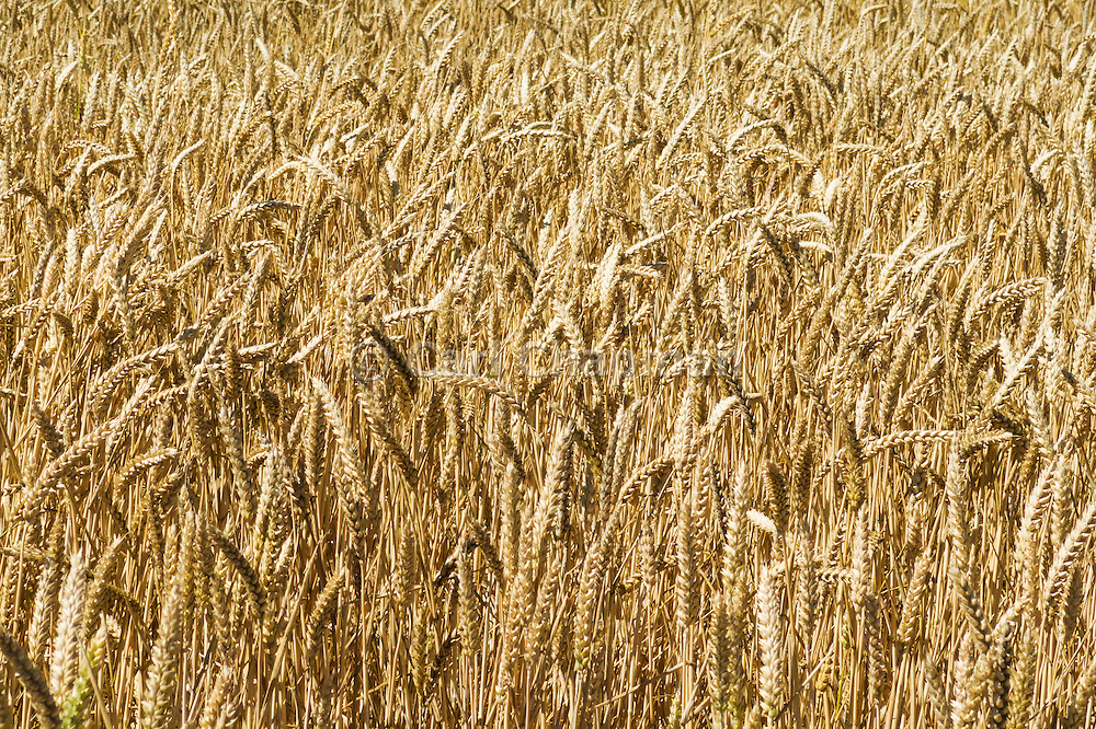 Heads of golden wheat before harvesting on a farm  in rural Mingay, Victoria.