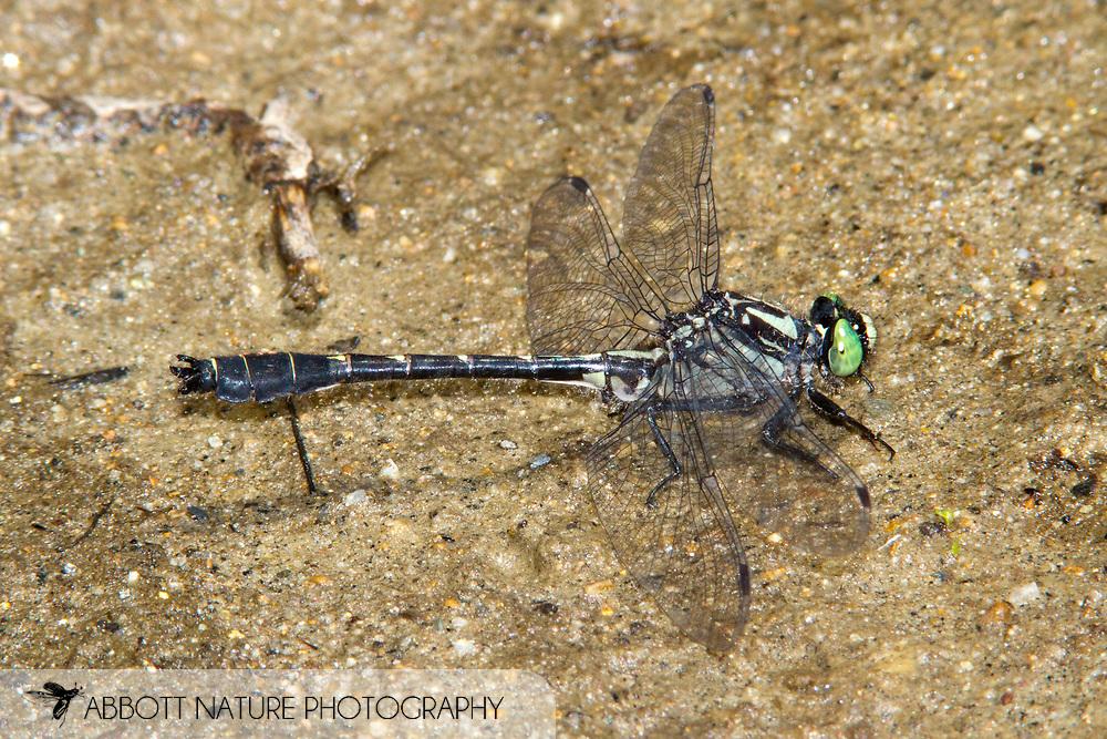 Mustached Clubtail (Hylogomphus adelphus) - male<br /> MAINE: Oxford Co.<br /> Androscoggin River @ Green Island off Canton Point Rd. near Peru<br /> 19.June.2010<br /> J.C. Abbott #2443