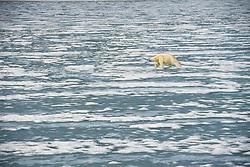 Polar bear (Ursus maritimius) on thin ice in Svalbard, Norway