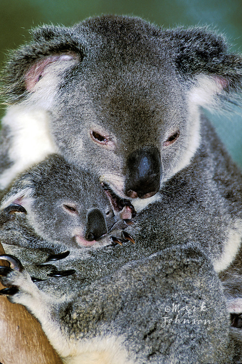 Mother koala cuddling baby koala, Australia
