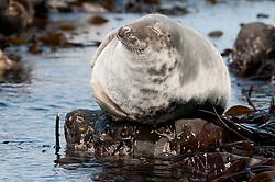 Grijze zeehond; Grey Seal