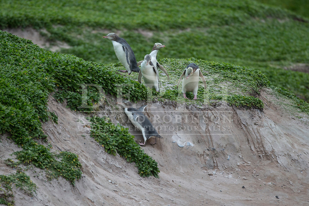 Megadyptes antipodes (Yellow eyed penguin) at Sandy Bay, Enderby Island, Auckland Islands, New Zealand.<br /> 06 January 2016<br /> Photograph Richard Robinson &copy; 2016