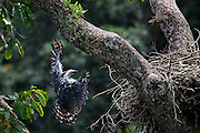 Parauapebas_PA, Brazil.<br /> <br /> Despite its large size that can reach 2.2 m (7.2 feet) the the Harpy Eagle(Harpia harpyja) shows grace and skill when landing at the nest.<br /> Carajas National Forest, Para, Brazil.<br /> <br /> Foto: JOAO MARCOS ROSA / NITRO