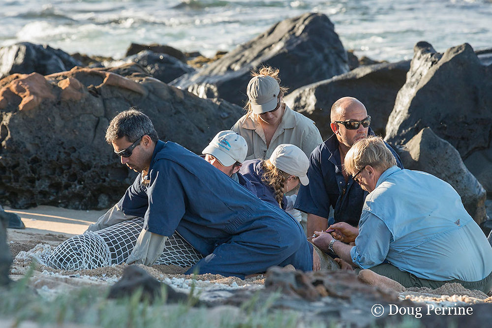 NOAA researchers Mark Sullivan, Charles Littnan, Kenady Wilson, and Sean Guerin restrain a Hawaiian monk seal, Monachus schauinslandi, while veterinarian Bob Braun draws a blood sample and Angie Kaufman handles the samples; prior to putting a Crittercam and tracking instrumentation package on it; west end of Molokai, Hawaii, photo taken under NOAA permit 10137-6