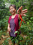China, Sichuan. Erjingtao chilis, one of Sichuan's favourites.