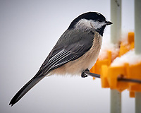 Black-capped Chickadee at a bird feeder. Image taken with a Nikon D5 camera and 600 mm f/4 VR lens (ISO 320, 600 mm, f/4, 1/640 sec).
