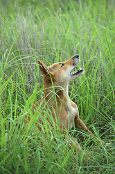 A wild dingo howling in the Kimberley wet season.