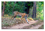 Bengal Tiger from Kanha National Park, India.  Nikon D4, 200-400mm @ 400mm, f4, 1/500sec, ISO1000, Aperture priority